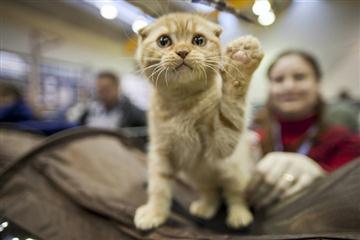 В Ужгороді відбудеться щорічна виставка-конкурс кішок «Міс-Кіс»