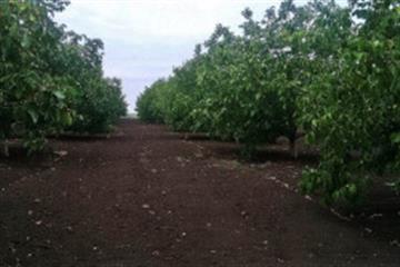 Закарпатську землю засадили горіхами