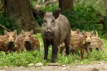 Африканська чума свиней поширюється Закарпаттям